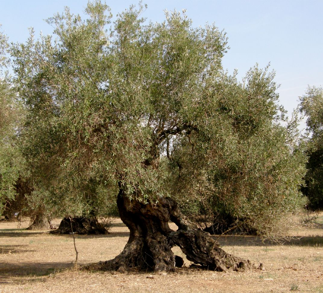Friday S Fact About Olive Trees In Cyprus