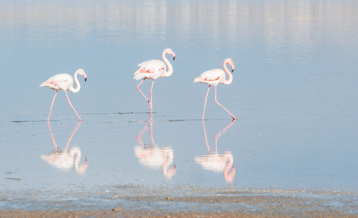 fun facts and trivia about flamingos the spruce - 730×445